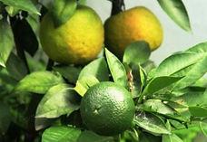 citrus aurantium3.jpg