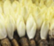 Chicory Root.jpg