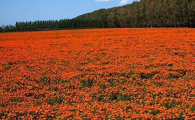 marigold extract farm lutein