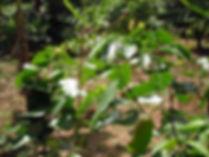 5-Hydroxytryptophan raw seed in tree
