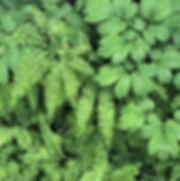 black cohosh Cimicifuga racemosa.jpg