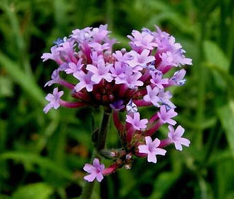 Verbena Officinali.jpg