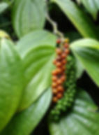 black pepper Piper nigrum.jpg