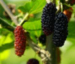 mulberry fruit.jpg