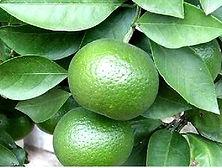 citrus aurantium2.jpg