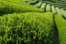gren tea extract farm