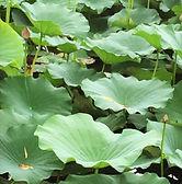 lotus leaf.jpg