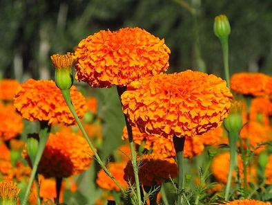 marigold flower extract powder lutein