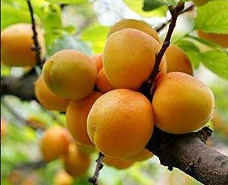 apricot Prumus armeniaca.jpg