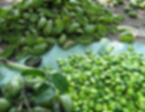 5-Hydroxytryptophan raw peeled fruit seed in tree