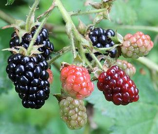 blackberry Rubus fruticosus L.jpg