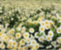 Chrysanthemum morifolium.jpg