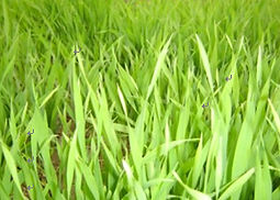 barley grass farm Hangzhou New Asia International Co., Ltd