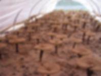 Organic Farm Reishi Ganoderma Cultivation in Filed Hangzhou New Asia International Co., Ltd