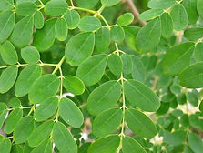 Moringa Leaf.jpg