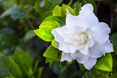 Gardenia Green.jpg