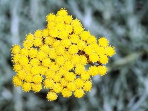Helicriso - o sol dourado