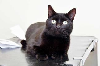 Hale Vets Cat black