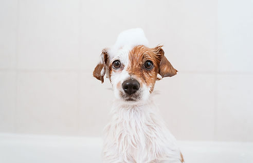 How To Shampoo your Dog