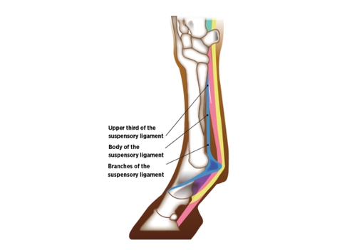 Hindlimb Suspensory Injury in Horses.