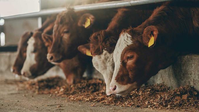 CC-Farm-Vets-cows-2.jpg