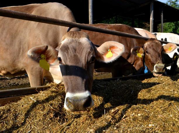 brown-cows.jpg