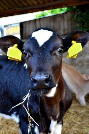 new-calve.jpg