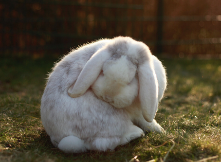 How to safely groom your rabbit