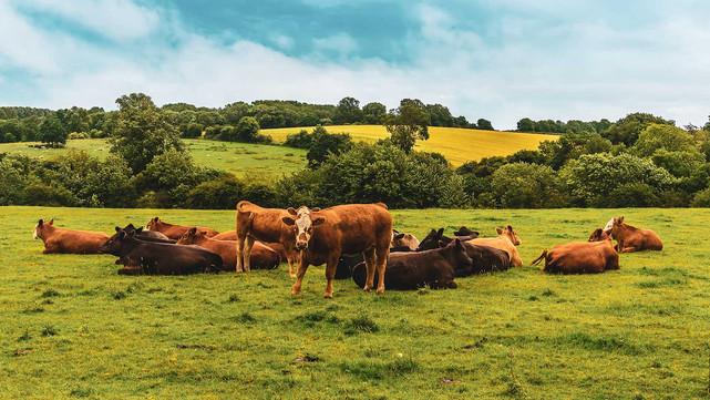 CC-Farm-Vets-cows-4.jpg