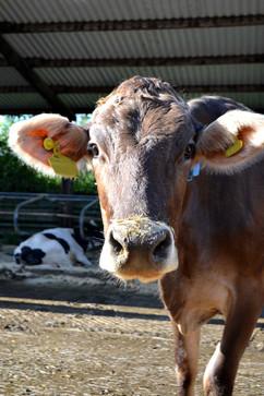 fluffy-calve.jpg