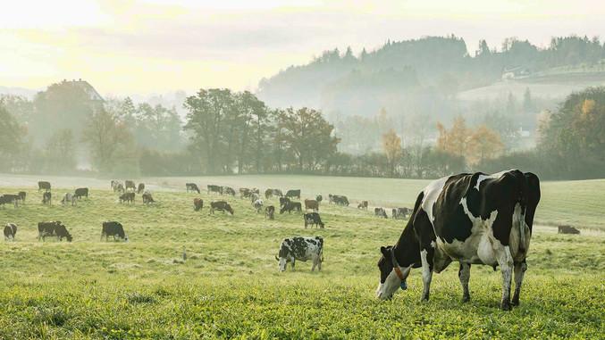 CC-Farm-Vets-cows-on-field.jpg