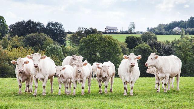 CC-Farm-Vets-cows.jpg