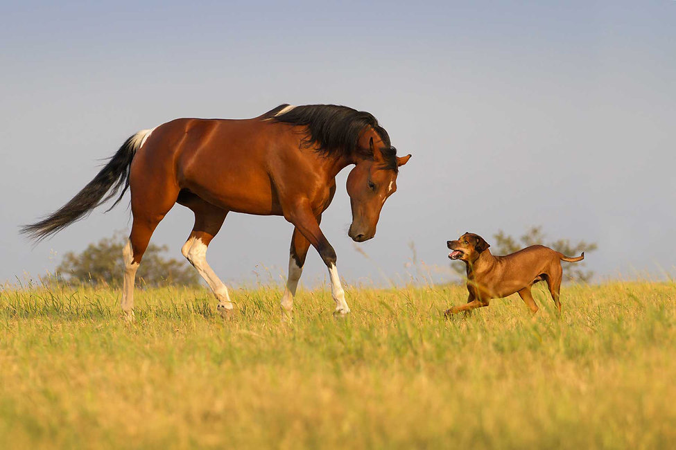 Dog and horse in feild