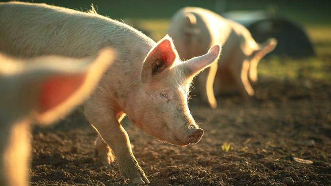 CC-Farm-Vets-pigs.jpg
