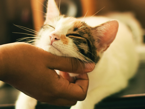 Preparing your cat or rabbit for surgery