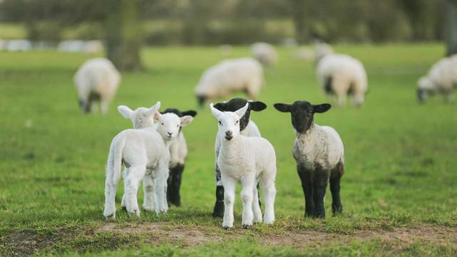 CC-Farm-Vets-lamb.jpg