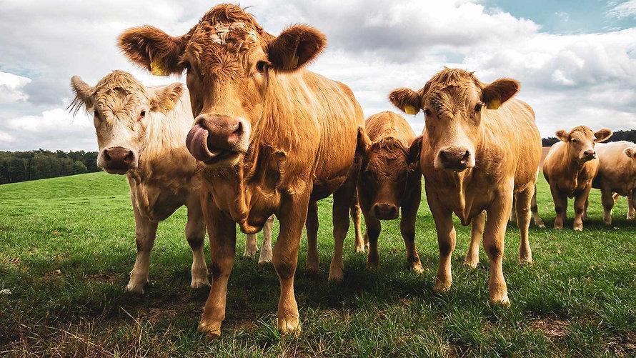 CC-Farm-Vets-cows-3.jpg