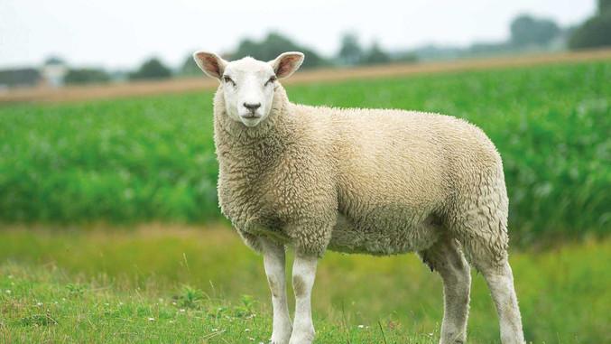 CC-Farm-Vets-sheep.jpg