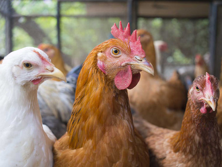Catherine Corden-Parry advises on bird flu symptoms and lockdown measures