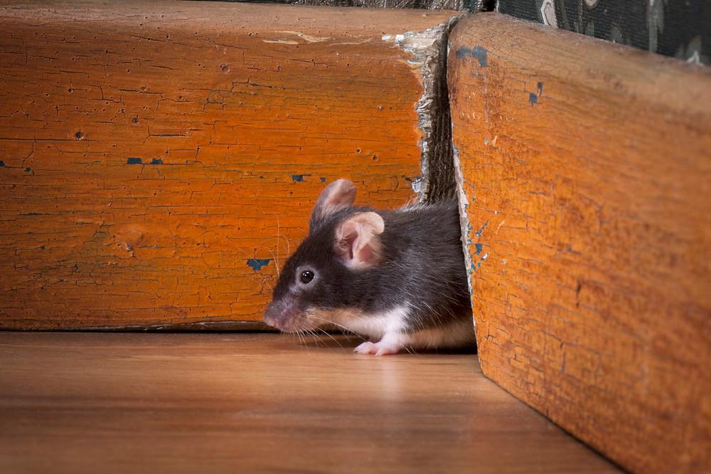 Mice in St. Louis