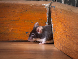 Winter Rodent Alert: Heat-Seeking Mice Are Looking For Shelter