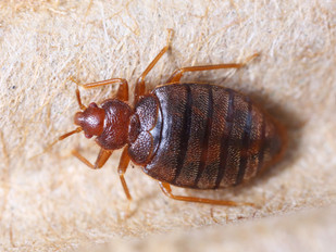 Bedbugs: The Great Travelers