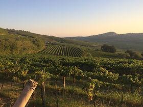 Massimago vineyards.JPG
