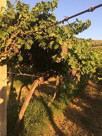 Massimago Molinara grape.JPG