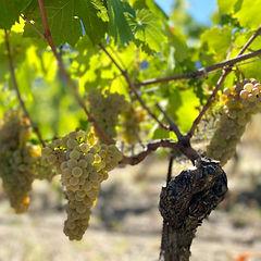 Rosset grapes.jpg