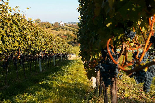 Jalits vineyard.jpg