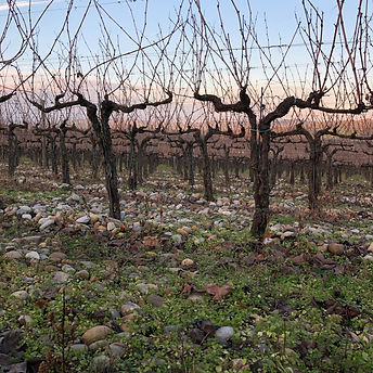 Colle Santa Mustiola Dec 2019 vineyard.J