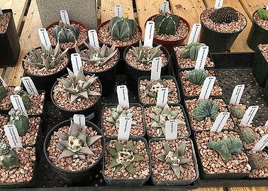 A selection of rare cactus
