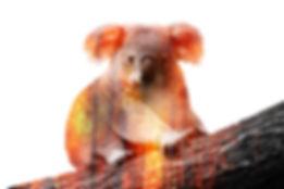 koala-incendies-web.jpg