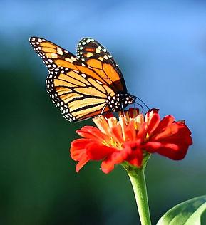 monarch_edited.jpg